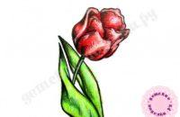 Как нарисовать тюльпан карандашом для начинающих
